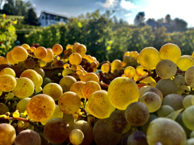 Räuschling Wümmet 2020 Weingut Diederik Küsnacht Zürichsee